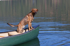 A brindled plott hound on a boat. On the water stock photo