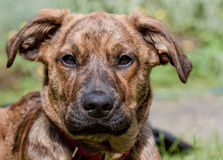 Brindled Plott hound puppy Stock Images