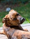 Brindled Plott hound puppy Stock Images