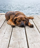 Brindled Plott hound puppy Stock Photography