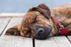 Brindled Plott hound puppy Royalty Free Stock Photo