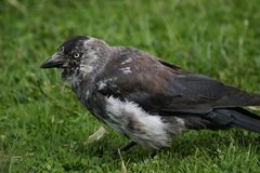 Brindled Western Jackdaw Royalty Free Stock Photography