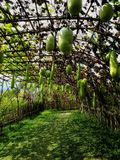 Giant gourd garden. Bring bamboo to make the structure.For gourds to wiggle aroud the bamboo structure Stock Photo