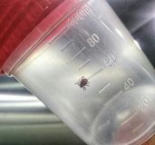 Mite acarus in a plastic cup. Bring mite for the expertise in medical plastic cup. encephalitis mite is dangerous creatures royalty free stock image