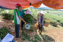 Bring the tea after havestinh to Small tent in tea farm Stock Photography