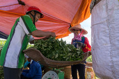 Bring the tea after havestinh to Small tent in tea farm Royalty Free Stock Photography