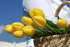 Bringing Home Tulips. Woman carrying a wicker basket full of vibrant yellow tulips Stock Photos