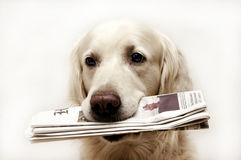 Bringing the news. Golden retriever dog holding in mouth a newspaper Royalty Free Stock Images