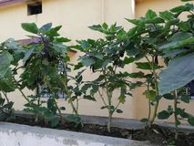Brinjal εγκαταστάσεις στη στέγη με φρέσκο μικροσκοπικό brinjal στοκ εικόνες με δικαίωμα ελεύθερης χρήσης