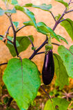 Brinjal or aubergine or Eggplant (Solanum melongena)- vertical Royalty Free Stock Image