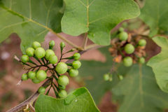 Brinjal fruit on the tree in the garden Stock Photo