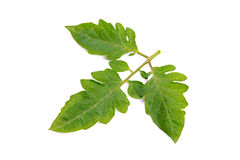 Brinjal leaves Royalty Free Stock Photos