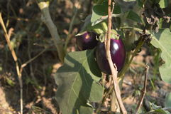 A brinjal Royalty Free Stock Photography