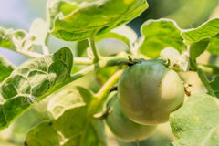 Brinjal on tree Royalty Free Stock Photography
