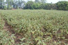 Brinjal uprawia ziemię w wielkiej skali fotografia stock