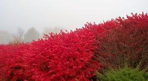 Brinnande buske, dimmig morgon fotografering för bildbyråer