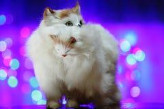 Brinque o gato com um gatinho na boca Fotos de Stock