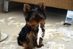Brinquedo adorável e engraçado de Yorkshire que olha culpado!!! foto de stock royalty free