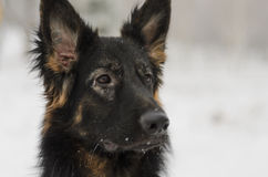 Brinquedo de jogo nevado gelado do inverno longo do pastor alemão do cabelo Foto de Stock