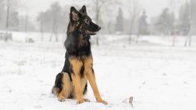 Brinquedo de jogo nevado gelado do inverno longo do pastor alemão do cabelo Imagem de Stock