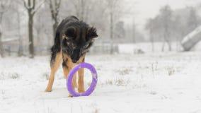 Brinquedo de jogo nevado gelado do inverno longo do pastor alemão do cabelo Imagens de Stock