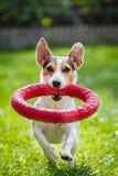 Brinquedo running do witn de Jack Russell Terrier fotos de stock royalty free