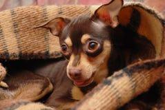Brinquedo-terrier Fotografia de Stock