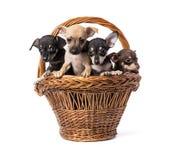 Brinquedo Terrier do cachorrinho Foto de Stock Royalty Free