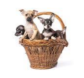 Brinquedo Terrier do cachorrinho Fotografia de Stock