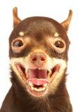 Brinquedo-terrier do russo. imagem de stock