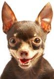Brinquedo-terrier do russo. fotografia de stock royalty free
