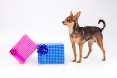 Brinquedo-Terrier e caixas de presente do Natal Imagem de Stock
