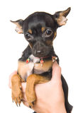 Brinquedo-terrier pequeno encantador foto de stock royalty free