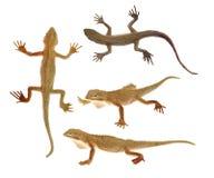 Brinquedos do lagarto no fundo branco isolado foto de stock royalty free