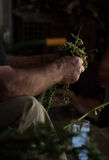 Brins de coupe d'agriculteur d'origan et de les attacher dans des paquets Image stock