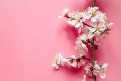 Brins de l'abricot en bois avec les fleurs blanches et les stamens jaunes sur le fond beige de ton photographie stock libre de droits