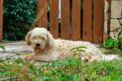 Free Briquet Griffon Venden, Cute Hairy Dog On The Back Yard Stock Photography - 108983612