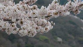 Brisa apacible que cruje las flores blancas en un cerezo de Yoshino en Japón durante la primavera 2016 almacen de metraje de vídeo