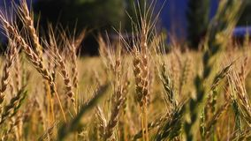 Brisa delicada em um campo de trigo video estoque