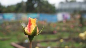 Brisa en una rosa fotos de archivo