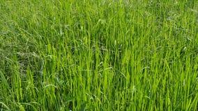 Brisa que sopla a través de cosechas del arroz almacen de video