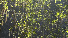 Brisa a través de ramas verdes almacen de video