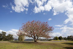 Brisbane city park. Iew of the city park, a tree full of red flowers stands on the lawn stock photo