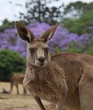 Brisbane Kangaroo Royalty Free Stock Photography
