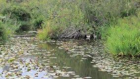 Brise soufflant dans les herbes grandes qui cachent une paire de canards blancs clips vidéos