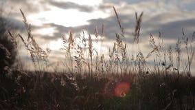 Brisen blåser på högväxt gräs arkivfilmer