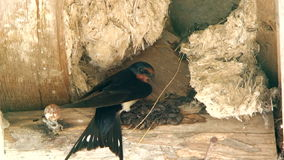 Brisk Swallow Making Nest At Quiet Place stock footage