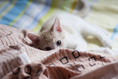 Bristish shorthair kitten on bed Royalty Free Stock Images