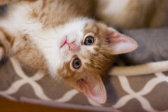 Bristish shorthair kitten Stock Photo