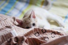 Bristish shorthairkattunge på säng Royaltyfria Bilder
